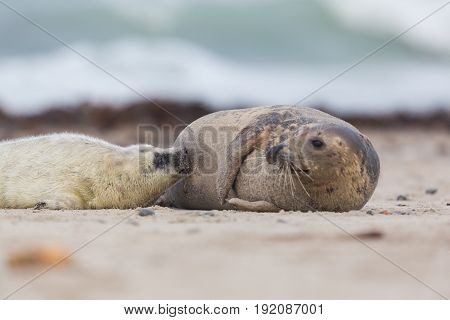 Portrait Of Female Gray Seal (halichoerus Grypus) Lactating Baby Seal On Sand Beach