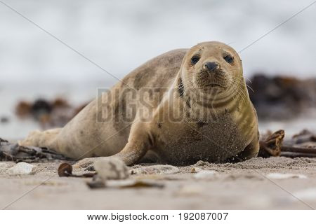 Front View Of Young Gray Seal (halichoerus Grypus) On Sand Beach