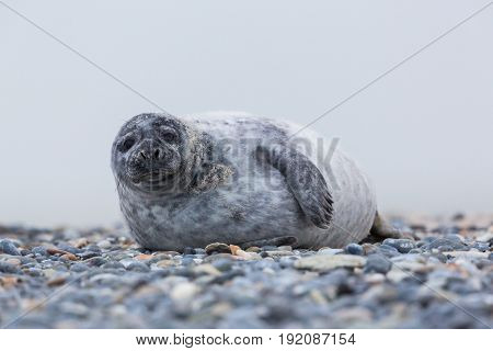 Front View Of Young Female Gray Seal (halichoerus Grypus) On Gravel Beach