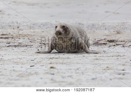 Front View Of Male Gray Seal (halichoerus Grypus) Crawling On Sand Beach