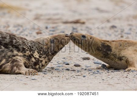 Side View Of Two Gray Seals (halichoerus Grypus) On Sand Beach