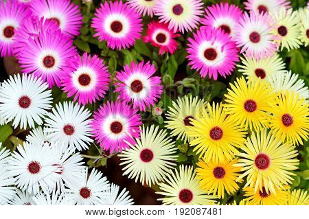 Top view of colorful Livingstone daisy flowers