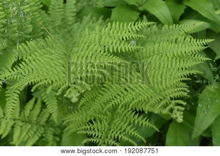 Natural green ferns growing wild in a shade garden.