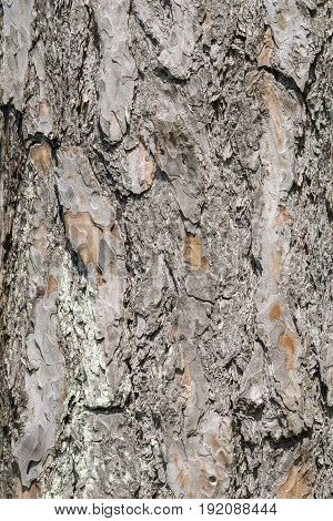 View on the Bark of an Red Pine Tree.  Old Tree. Wood texture background. Vintage wood texture background. Tree Bark. Natural wood patterns. Wood background. Hardwood