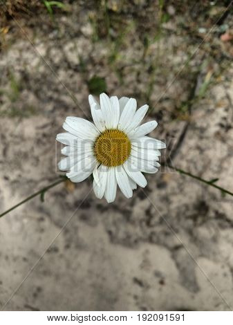 Camomile Flowers Against Background Of The Sand .
