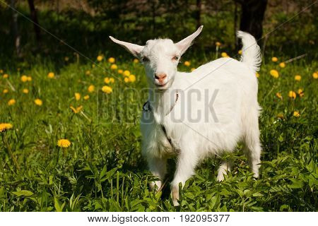 Cute Little White Goat In Sunny Spring Garden/Meadow. Farm Baby Animals.