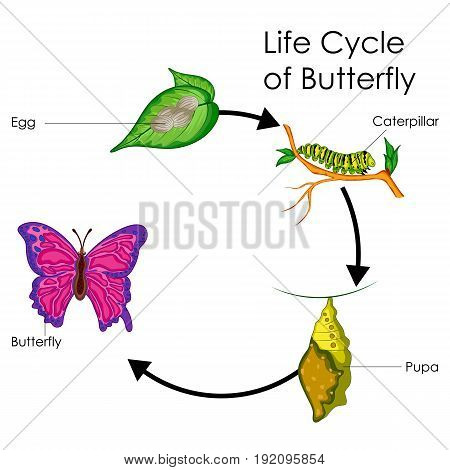Education Chart of Biology for Life Cycle of Butterfly Diagram. Vector illustration