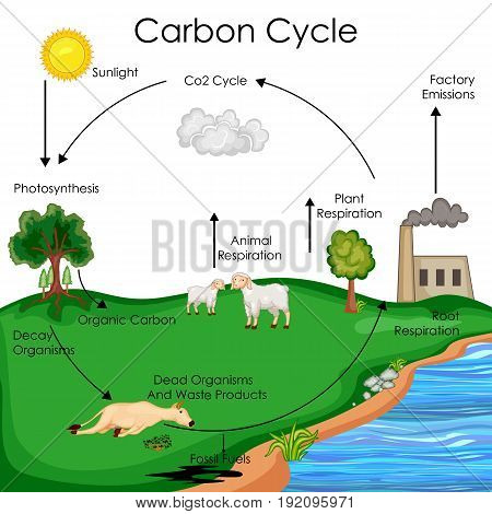 Education Chart of Biology for Carbon Cycle Diagram. Vector illustration
