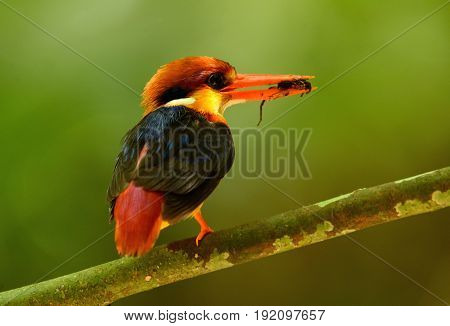 beautiful male Black-backed Kingfisher (Ceyx erithacus) sitting on branch at Kaeng Krachan National ParkThailand