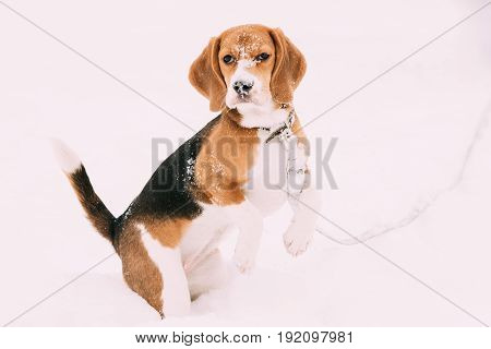 Beautiful Tricolor Puppy Of English Beagle Playing In Snow At Winter Day. Beagle Is A Breed Of Small Hound, Similar In Appearance To The Much Larger Foxhound.