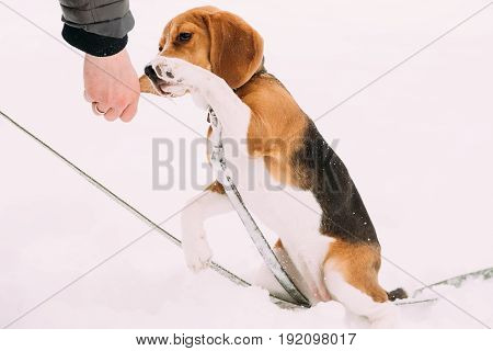 Beautiful Tricolor Puppy Of English Beagle Giving Paw To Owner, Shaking Hand And Paw. Friendship Between Pet, Dog And Human. Dog Playing In Snow At Winter Day. Beagle Is A Breed Of Small Hound