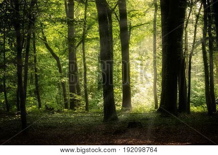sunny deciduous forest in summer with book trees and sunrays natural landscape background with copy space