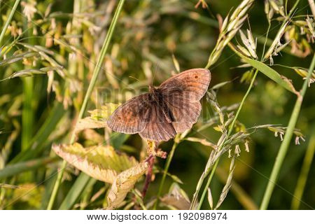 Meadow Brown Butterfly Resting In Sunshine In Long Grass