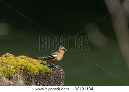 Chaffinch (fringilla Coelebs) Perched On Mossy Post