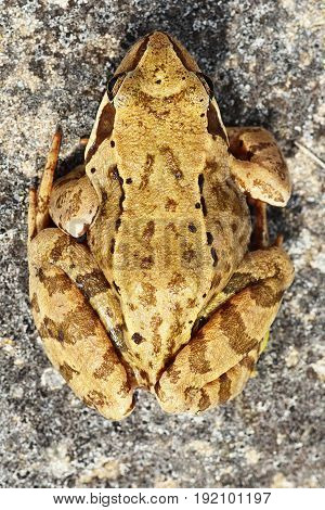 common european brown frog standing on a rock camouflage natural pattern ( Rana temporaria )