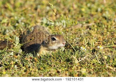 cute european ground squirrel in natural habitat closeup oj juvenile animal ( Spermophilus citellus )
