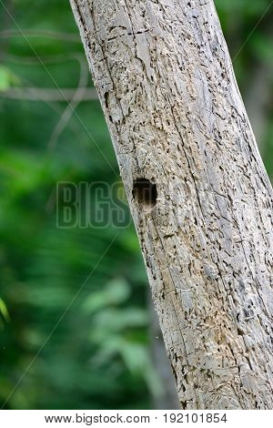 beautiful Lineated Barbet (Megalaima lineata) house in tree.