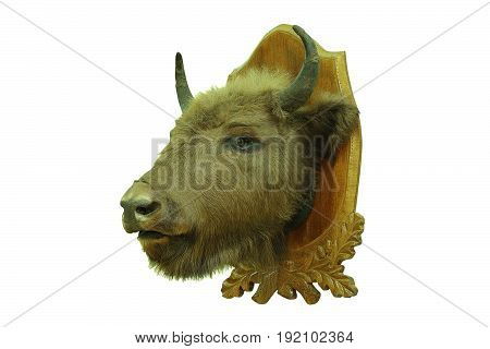 european bison hunting trophy isolated over white background taxidermy of head mounted on wood plate ( Bison bonasus )
