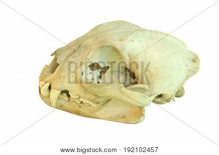 european lynx cranium isolated skull over white background