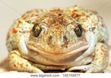 garlic toad beautiful portrait wild animal looking at the camera ( Pelobates fuscus common spadefoot toad )