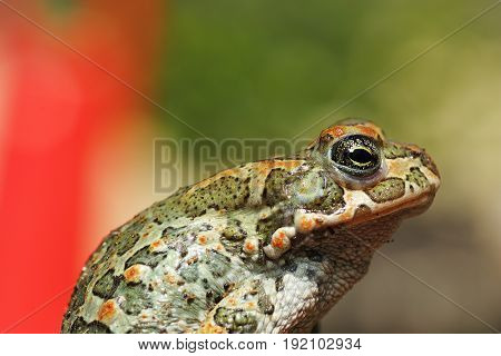 colorful green european toad closeup ( Bufotes viridis )