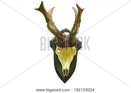 huge roebuck hunting trophy isolated over white background ( roe deer male Capreolus )