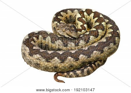 isolated european venomous snake nose horned viper ( Vipera ammodytes )