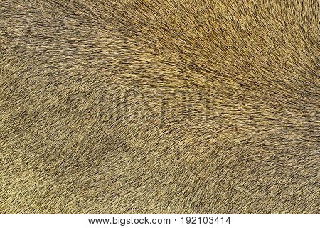 lion pelt texture real leather for your design