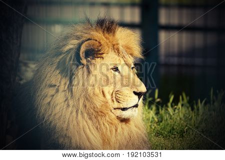 portrait of big lion at the zoo ( Panthera leo )