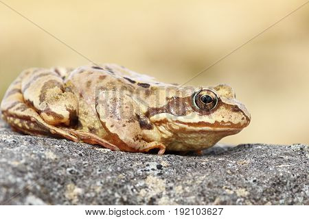 full length profile view of european common brown frog ( Rana temporaria )