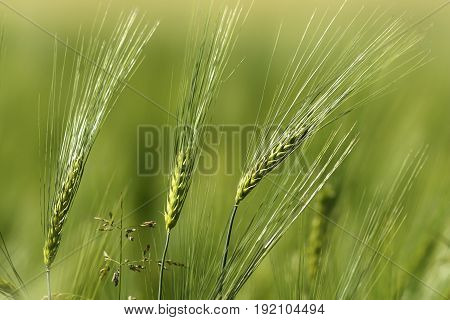 wheat spikes in spring abstract view of agricultural field