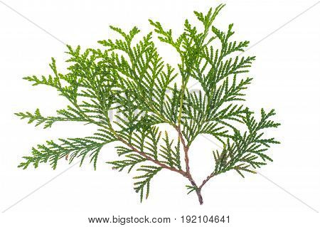 Thuja branch isolated Isolated on white background. Studio Photo