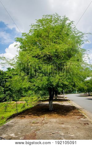 Tamarind tree with blooming flowers on a road with a lot of tamarind tree