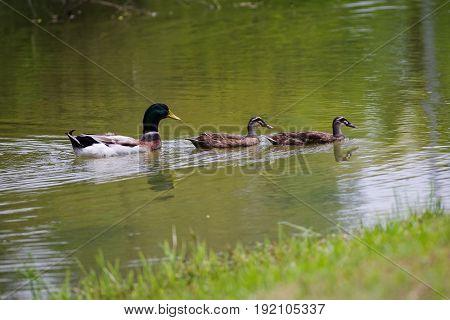 Swimming mama duck & couple of baby ducks on lake