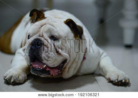 English bulldog sleep on the floor It's sleepy fat dog