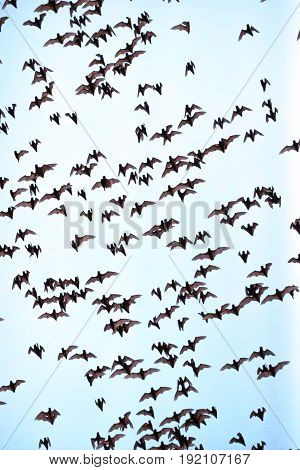 Hundreds Of Bats On A Blue Sky In Cambodia