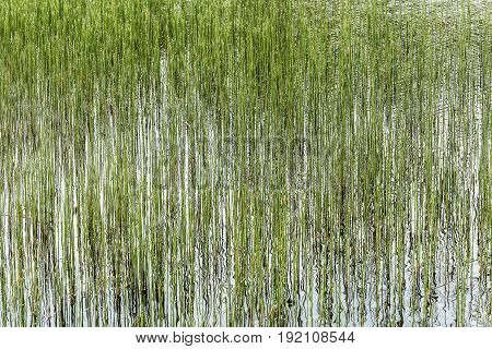 Abstract natural background of thin long green aquatic plants and their reflections on the water surface in the lake