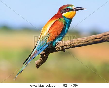 exotic bird flew to nesting in northern Europe, Bee-eater