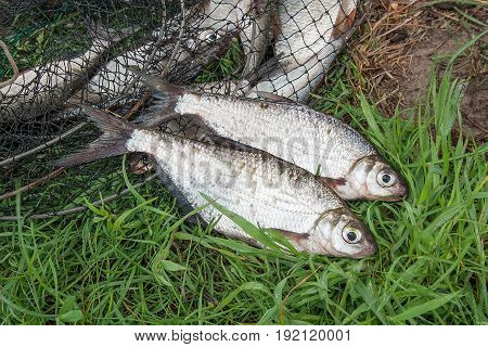 Two Freshwater Fish White-eye Bream And Fishing Rod With Reel On The Natural Background. .
