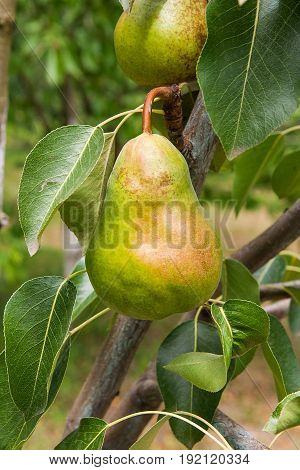 Shiny Delicious Pears Hanging From A Tree Branch In The Orchard..