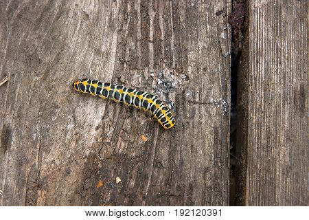 Beautiful Black And Yellow Caterpillar On Vintage Wooden Background.