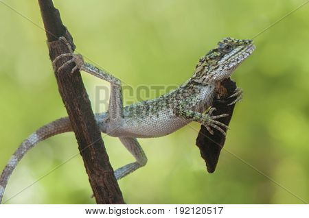 Lizard keep a wood with two hand