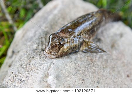 Freshwater Bullhead Fish Or Round Goby Fish Just Taken From The Water On Gray Stone..