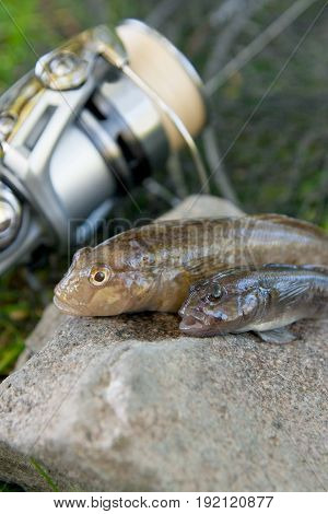 Two Freshwater Bullhead Fish Or Round Goby Fish Just Taken From The Water On Gray Stone Background A