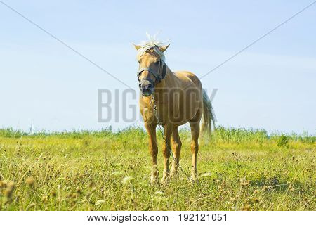 Beautiful light brown horse with white mane stands on meadow. Palomino horse in field against blue sky