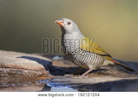 Female Melba Finch drinking water from rocks next to a pond