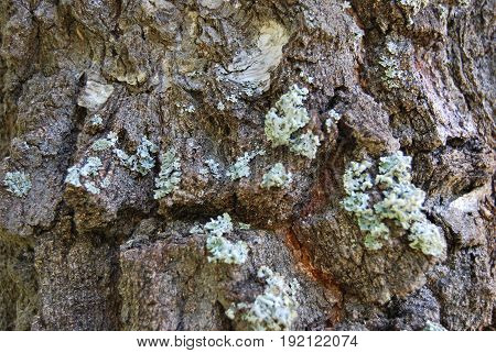 Texture of old birch, black, covered with moss