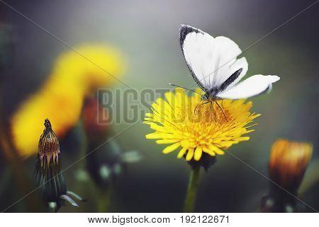 Beautiful Butterfly on a dandelion flower. Macro