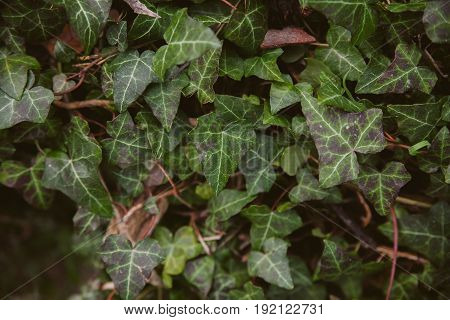 Ivy leaves on wood background. Wild ivy in tree trunk. Texture of green ivy leaves. Foliage of the forest. Organic background. Abstract texture & background for designers. Macro view of ivy leaves..