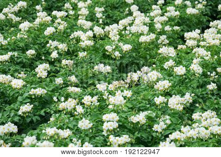 White flowering potato plants on the field